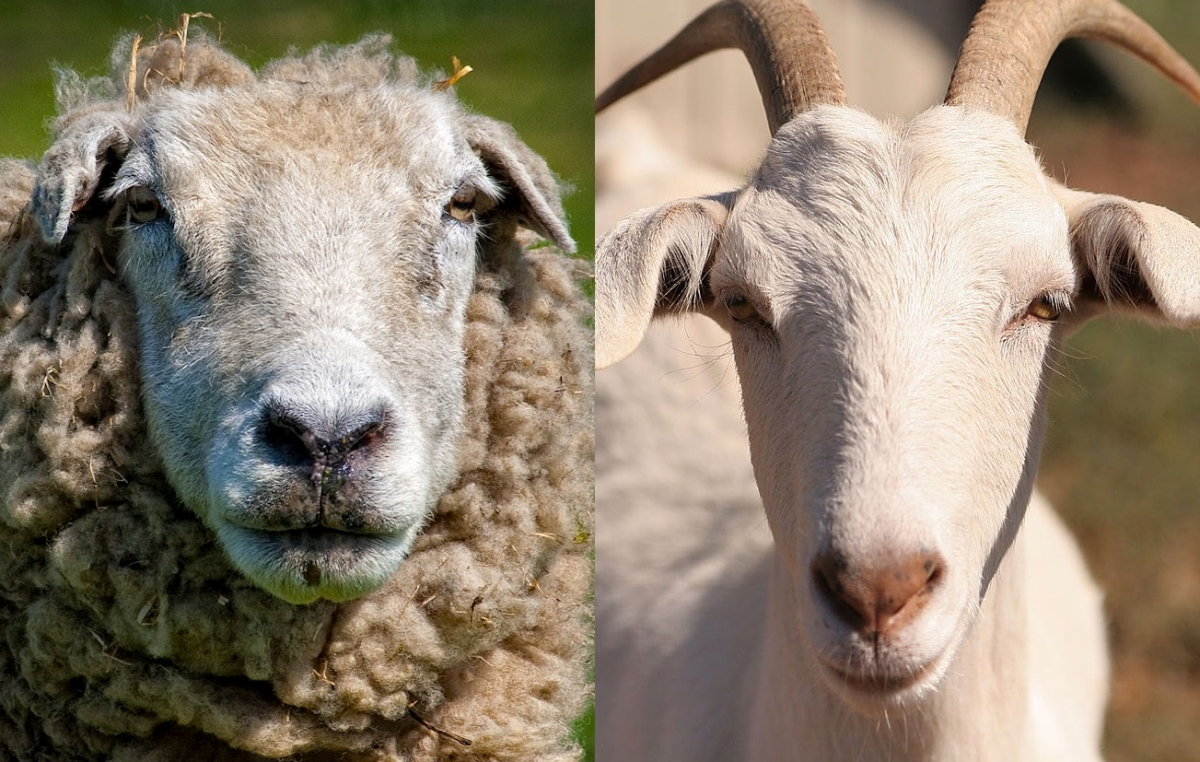 Images of goats and sheep